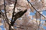 桜とツグミ