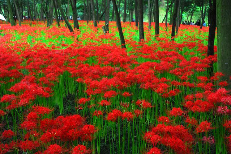 赤い絨毯-曼珠沙華3