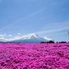 芝さくらと富士山