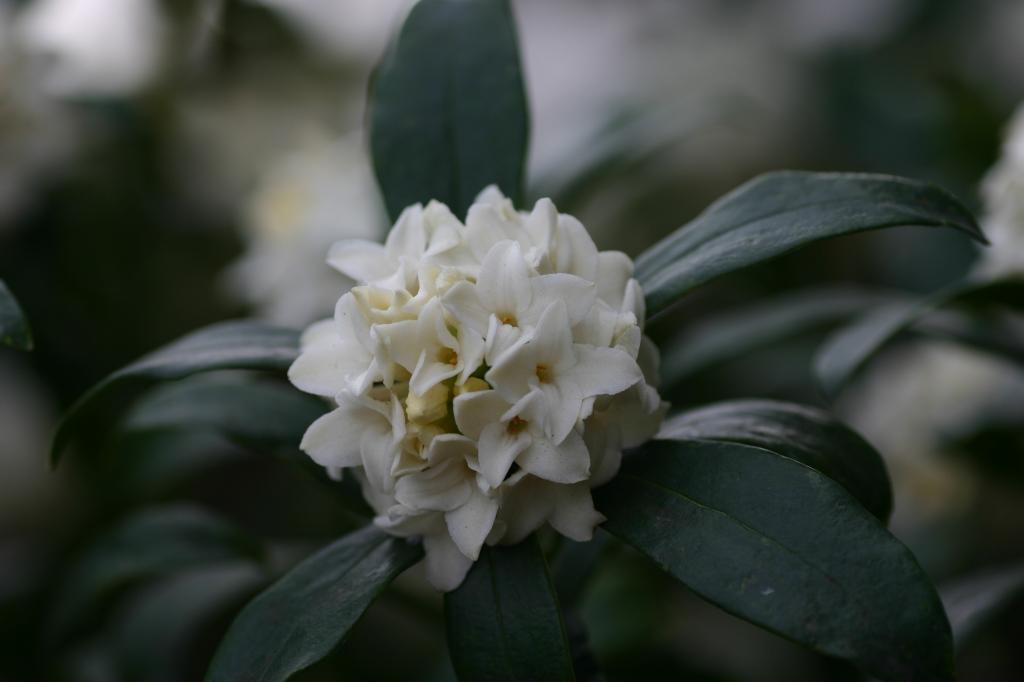 沈丁花(ジンチョウゲ)