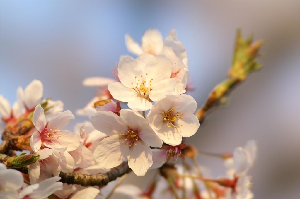館林の桜_2