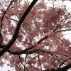 枝垂れ桜 5(栃木県 つがの里)