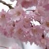 枝垂れ桜 4(栃木県 つがの里)