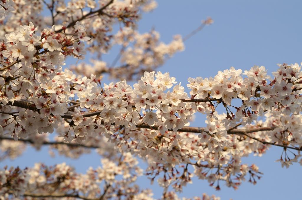 館林の桜_1