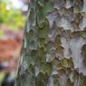 CANON Canon EOS Kiss Digital Xで撮影した植物(点描  この木 何の木 ふしぎな木)の写真(画像)