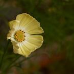 OLYMPUS E-300で撮影した植物(コスモス ZD50マクロ+E300で撮影)の写真(画像)
