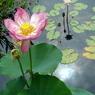 OLYMPUS E-500で撮影した植物(どっちがどっち蓮と睡蓮)の写真(画像)