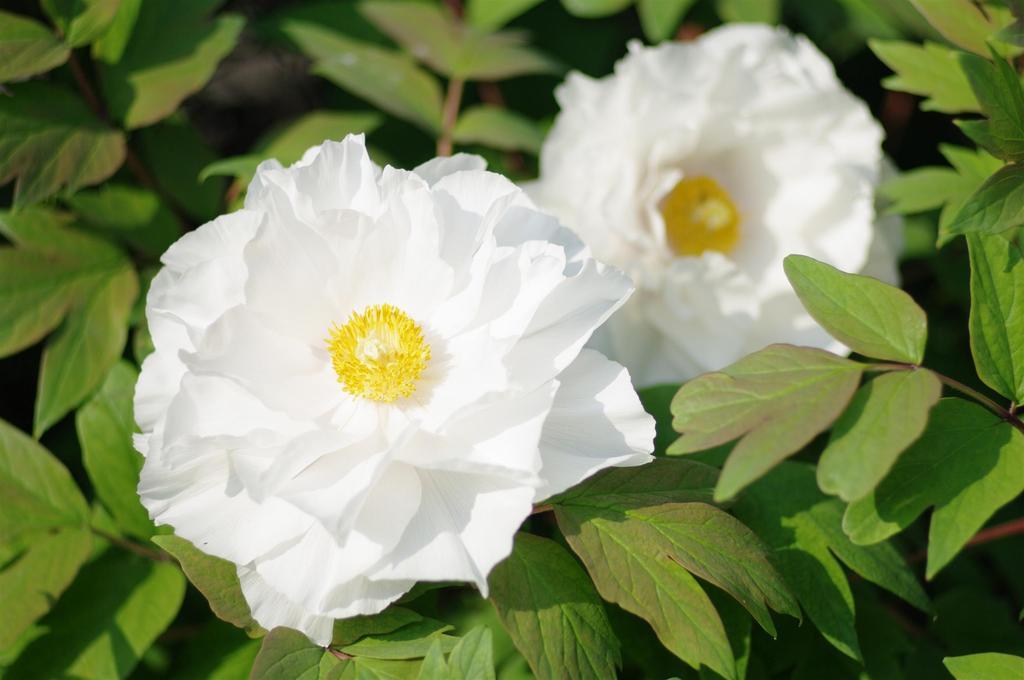 牡丹の白花