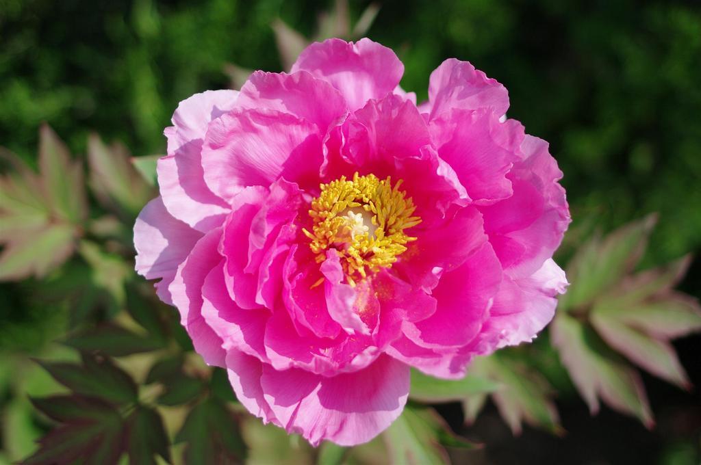 ボタン科 牡丹の桃花