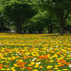 P0335昭和記念公園ポピー