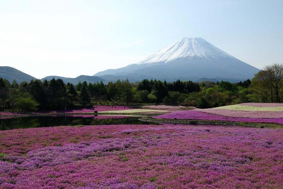 P7798富士芝桜