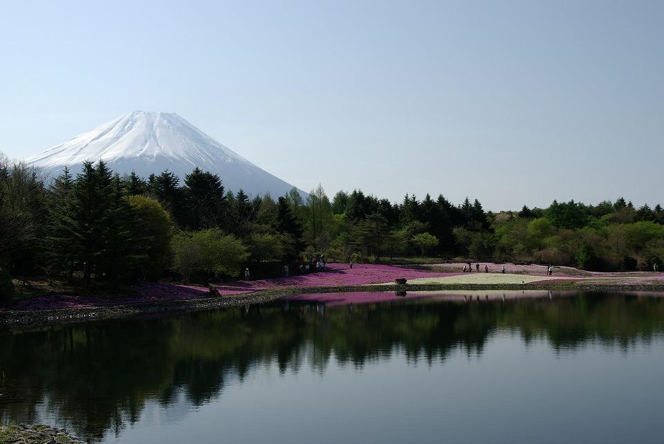 P7804富士芝桜