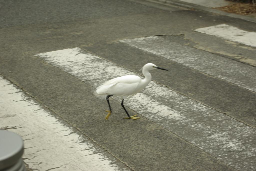 横断歩道、鷺