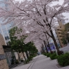愛宕山の桜並木www