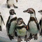SONY DSLR-A700で撮影した動物(ペンギン)の写真(画像)