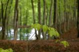 ブナの林の遅い春3