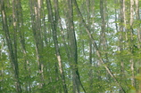水面に映るブナの若木