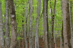 ブナの林の遅い春2