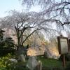 石内 神原枝垂れ桜 県天然記念物