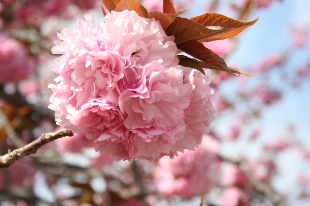 手毬 八重桜