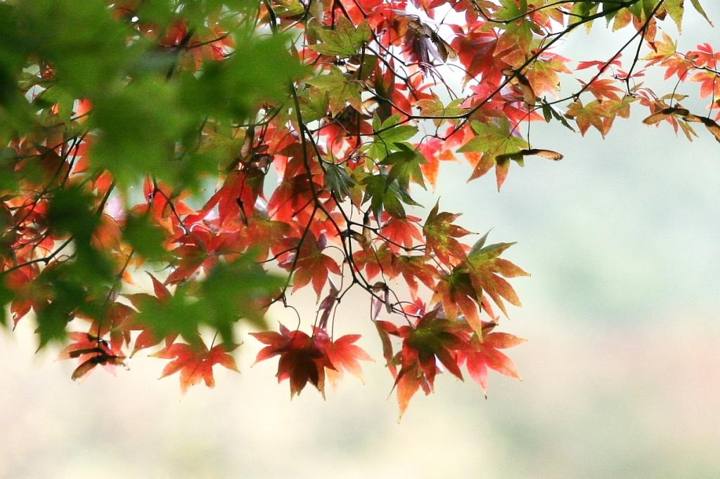 金魚のような紅葉