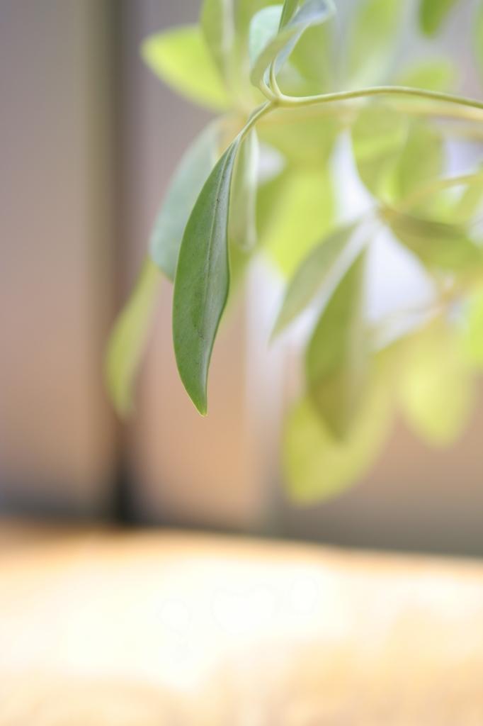観葉植物の葉