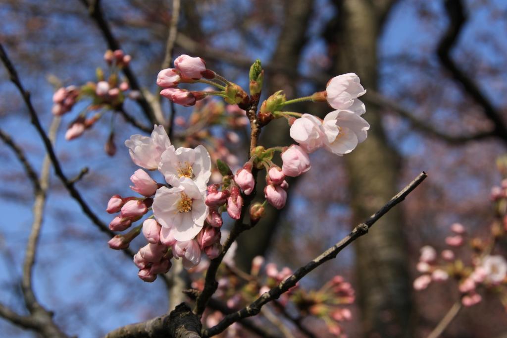初々しい桜