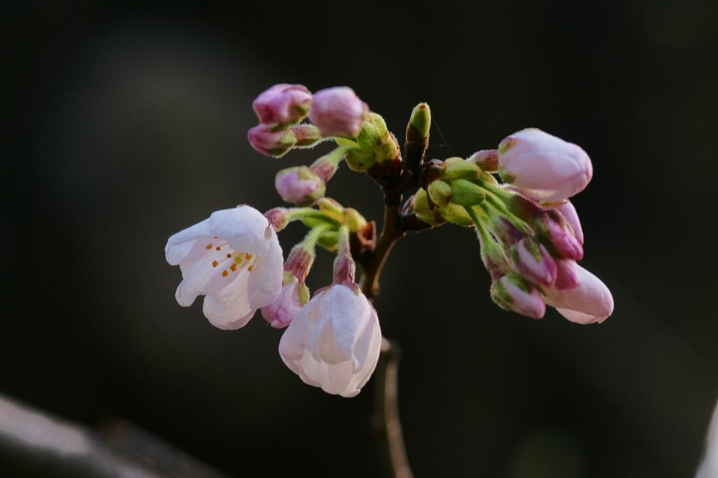 桜 習作4