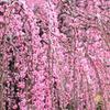 春色カーテン