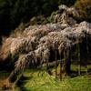 入生田の枝垂桜