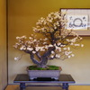 梅の盆栽 ①