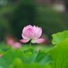 ハスの花 at 不忍池