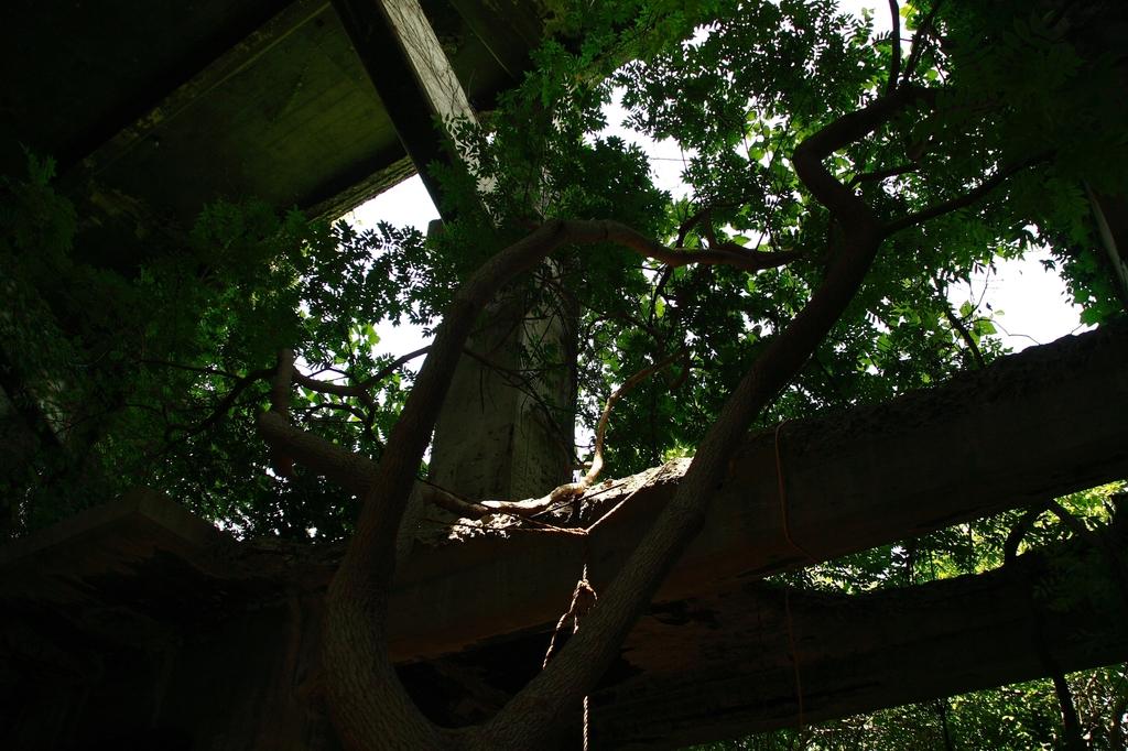 廃墟から逃げる木