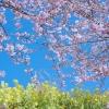 青空の下の桜と菜の花