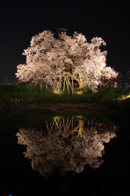 逆さの夜桜