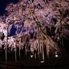 桜色の傘のよう