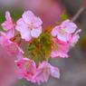 CANON Canon EOS 40Dで撮影した植物(桜艶)の写真(画像)