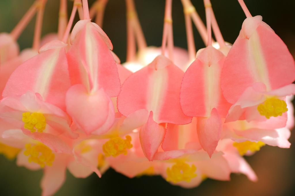 ピンクの花たち