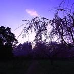 CANON Canon EOS 40Dで撮影した風景(夕暮れ桜)の写真(画像)