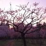 CANON Canon EOS 40Dで撮影した風景(茜桜)の写真(画像)