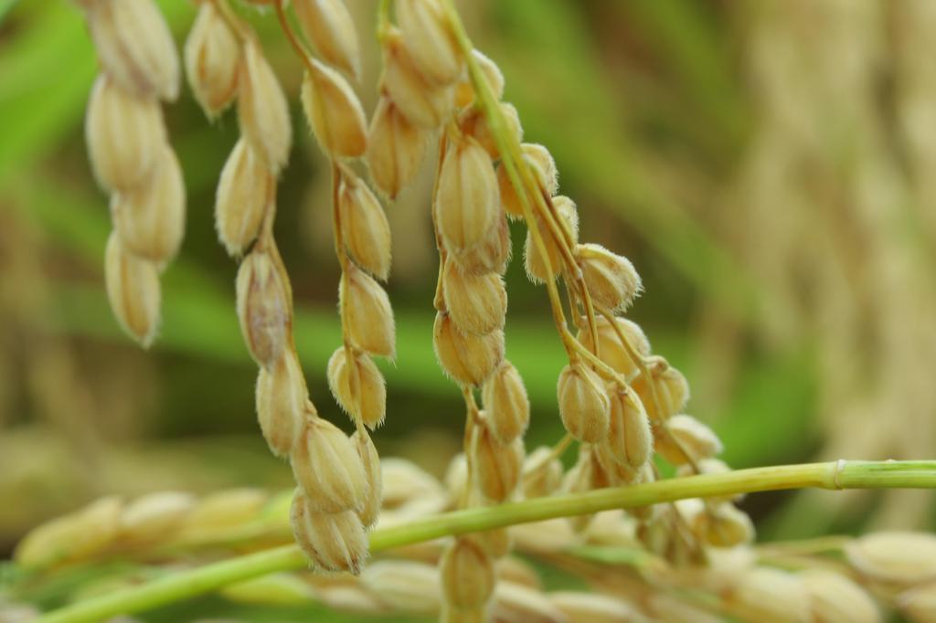 籾のつぶやき