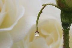 薔薇のエッセンス