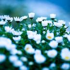 CANON Canon EOS 5Dで撮影した植物(雨上がり、花壇で)の写真(画像)