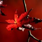 CANON Canon EOS Kiss Digital Nで撮影した植物(紅葉劇場)の写真(画像)
