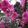 京都御苑 桃1