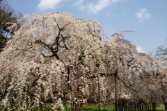 京都御苑 桜3