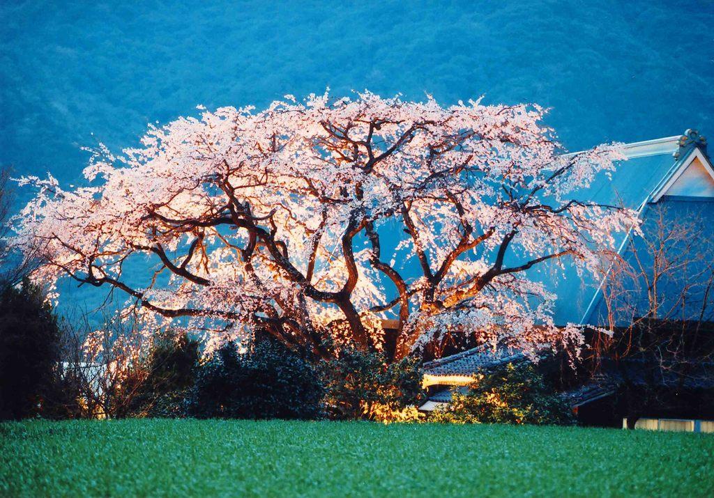 宝珠寺 姫しだれ桜