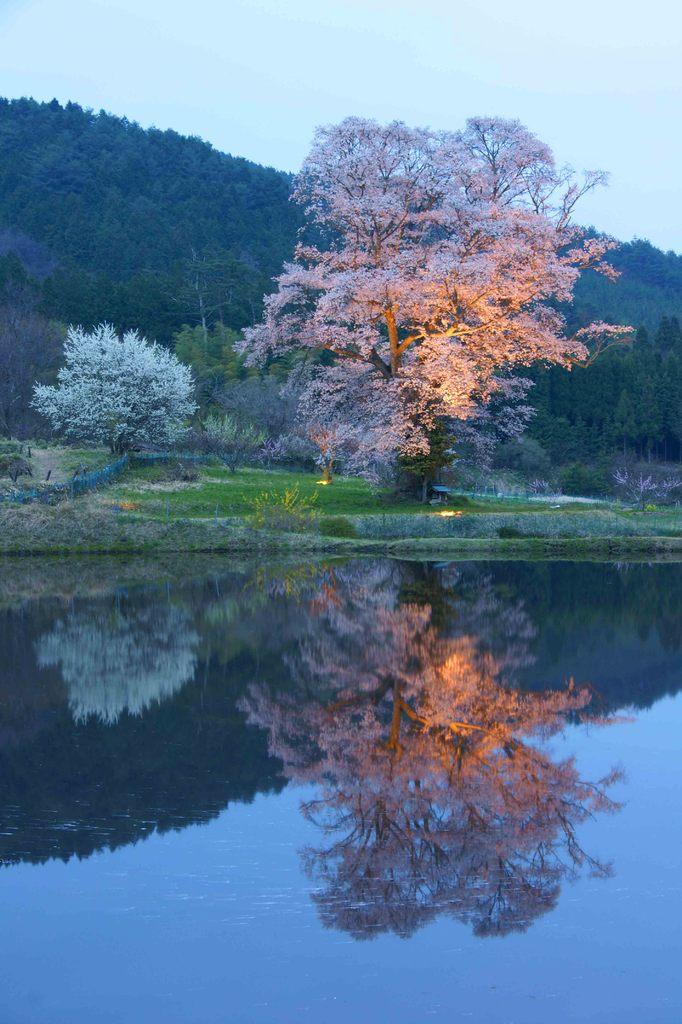 千鳥別尺桜