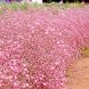 花畑(ピンク)