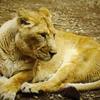 ライオンは何を想う